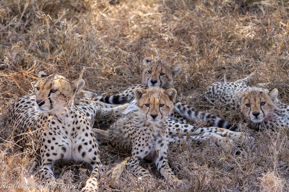 Mother and three cheetah cubs
