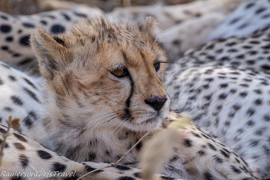 Close up of cheetah cub