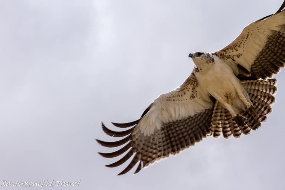 Martial Eagle Flying