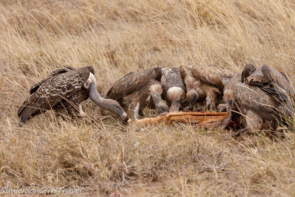Vultures eating a Thomson's Gazelle