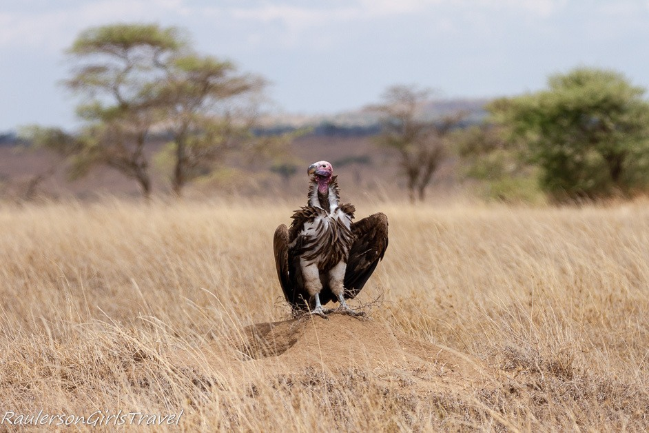 white headed vulture standing on a mound