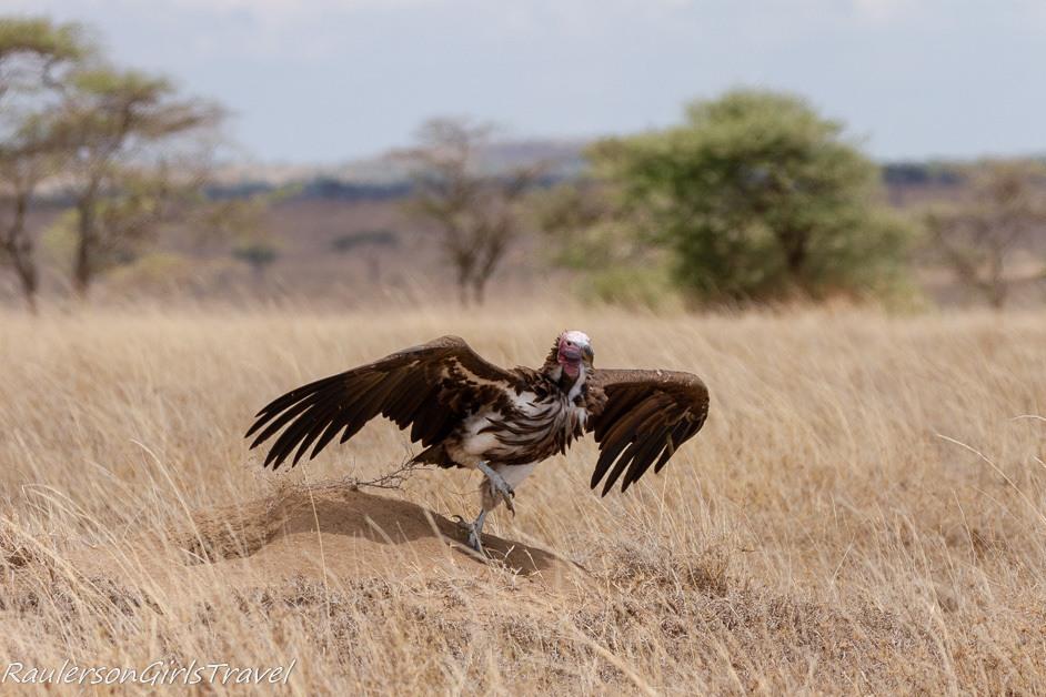white headed vulture taking flight