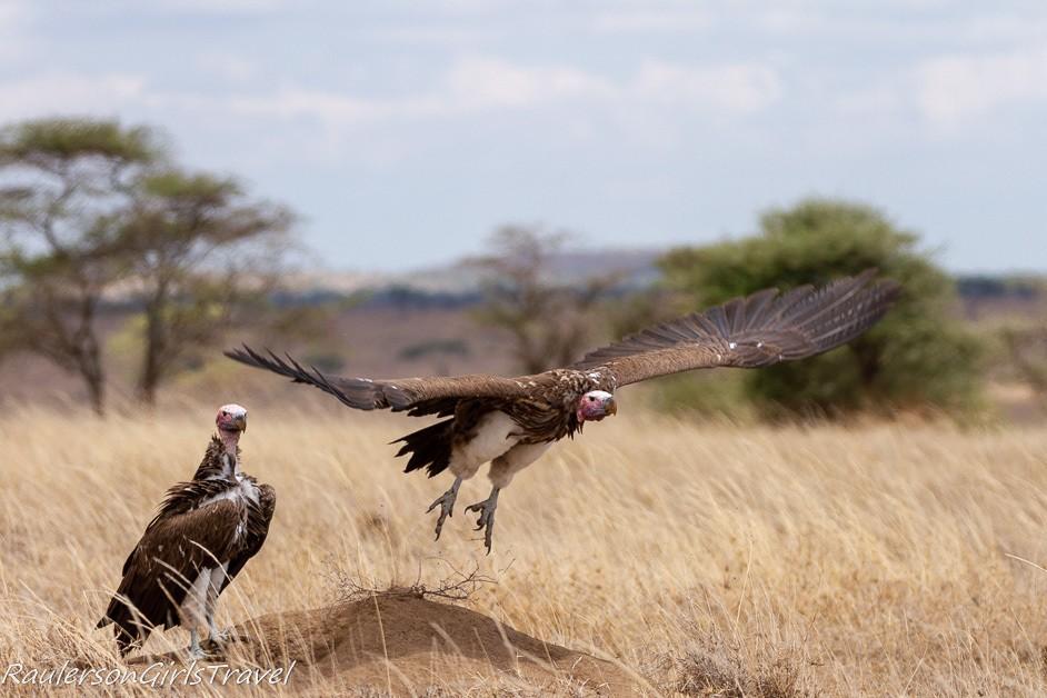 white headed vulture flying