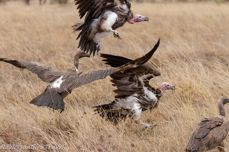 white headed vultures attacking each other