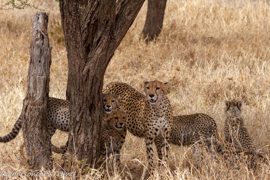 Cheetah family by a tree
