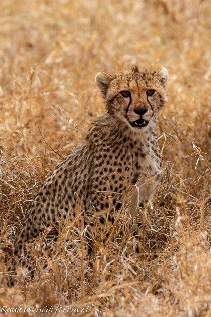 Cheetah cub looking at camera