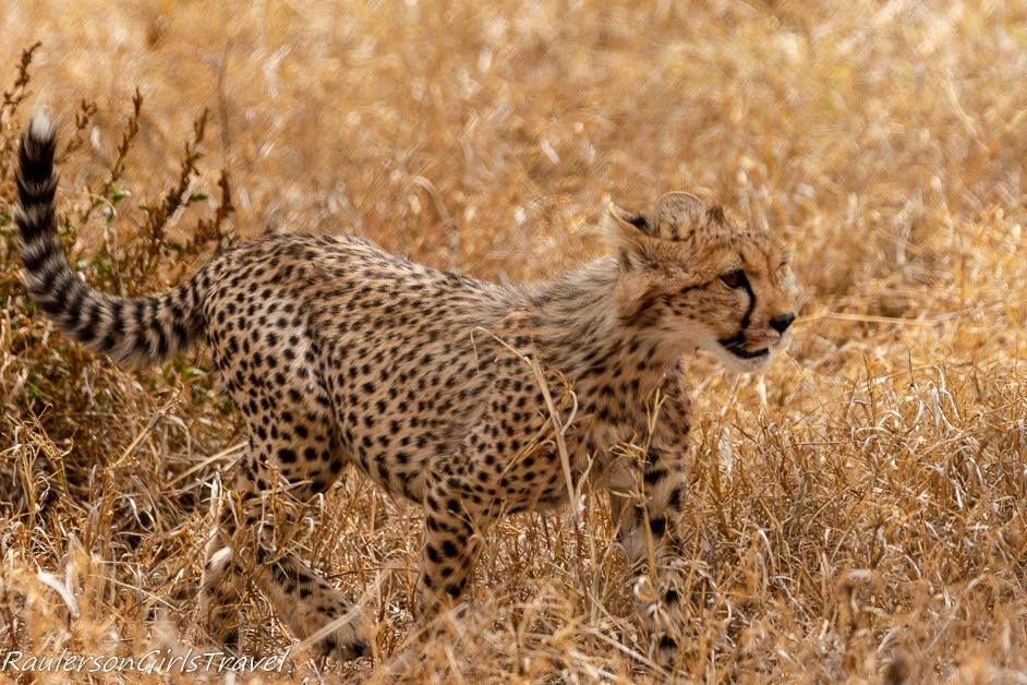 Cheetah cub walking through the grass