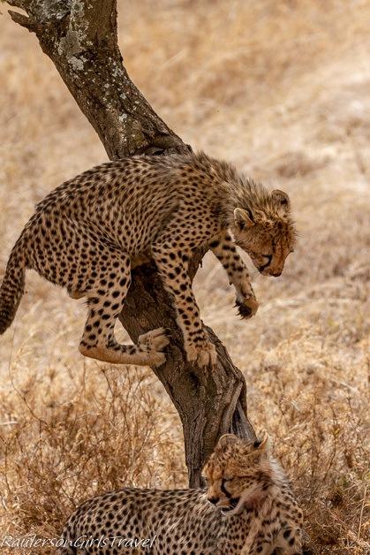 Cheetah climbing down a tree
