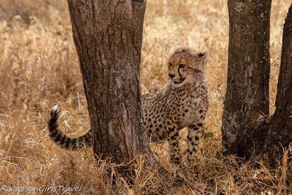 Cheetah cub looking around a tree