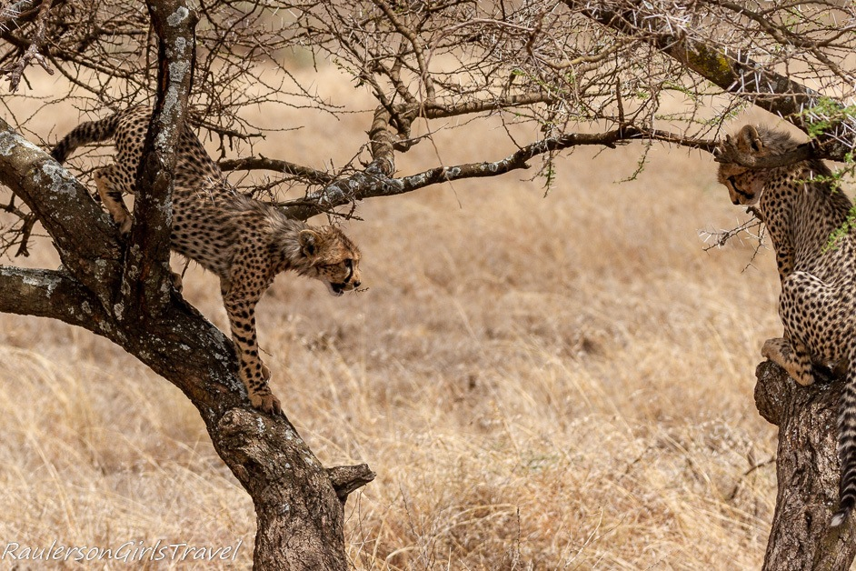 Two cheetahs in a tree