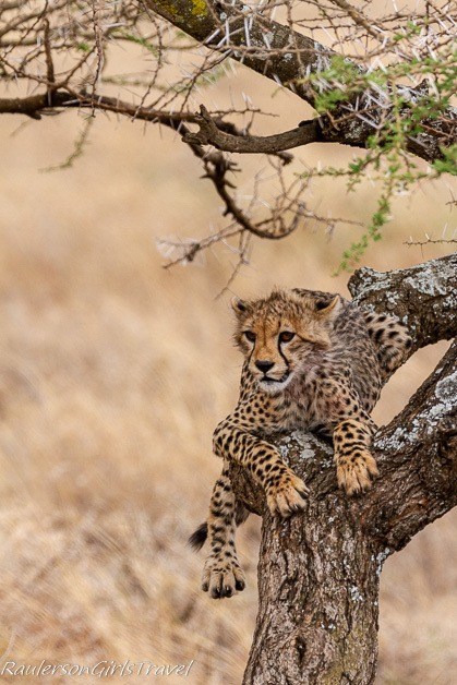 Cheetah on a tree branch