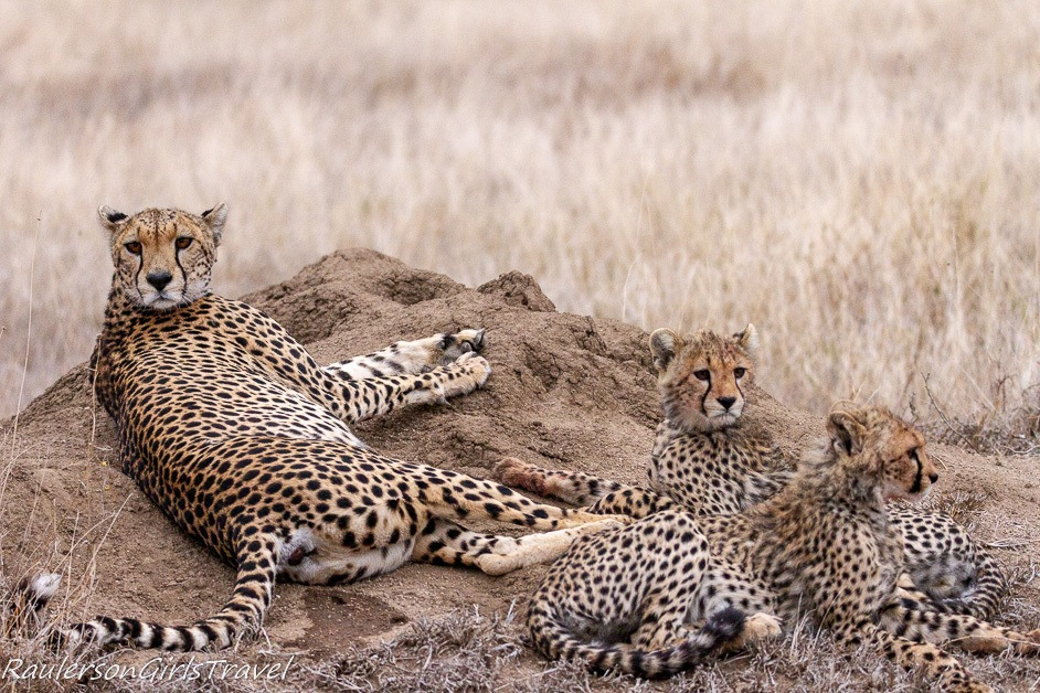 Cheetahs lounging about