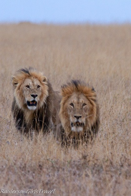 Male lions at Serengeti National Park 2