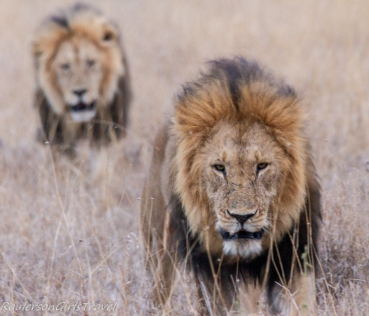 Male lions at Serengeti National Park