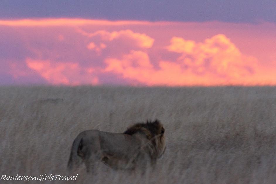 Male lion walking at sunset 2