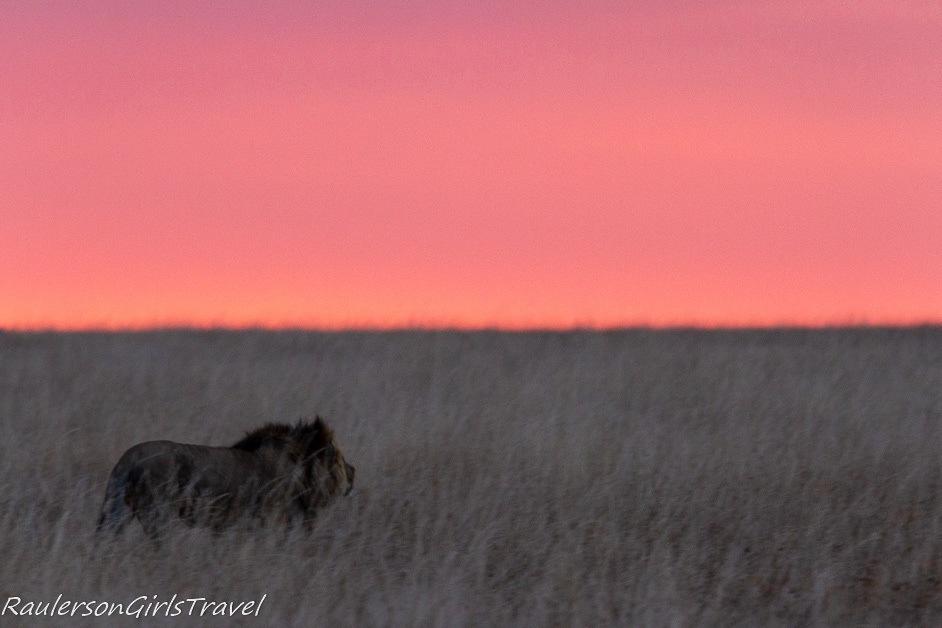 Male lion walking at sunset