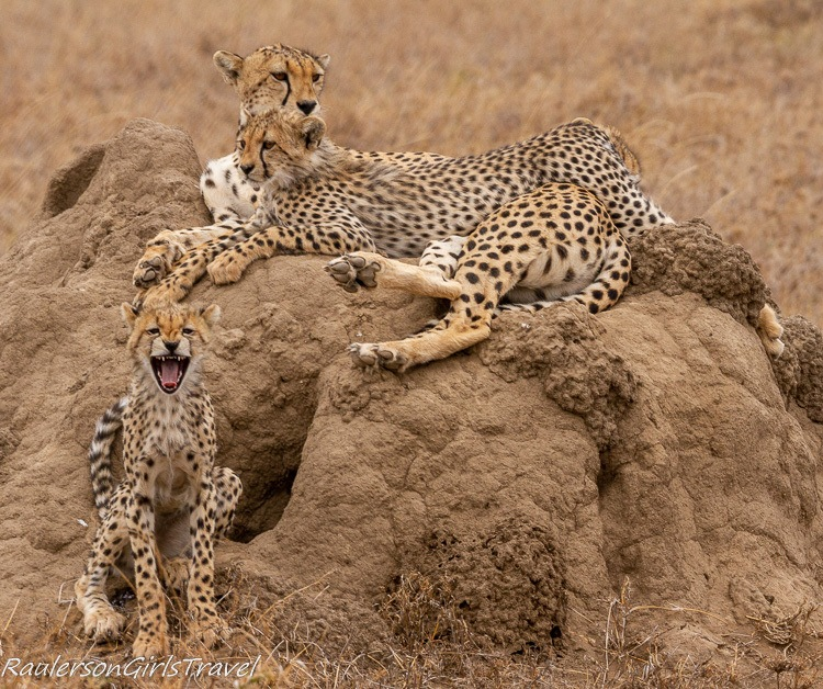 Cheetah family resting on a mound