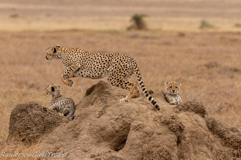Mother cheetah jumping to get dinner for cubs