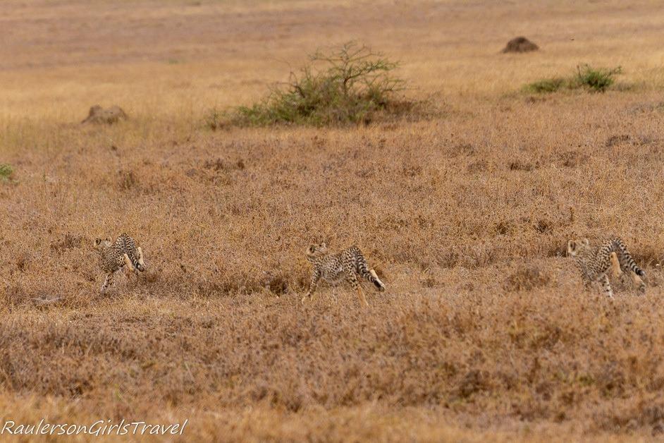 Three cheetahs running through the Serengeti