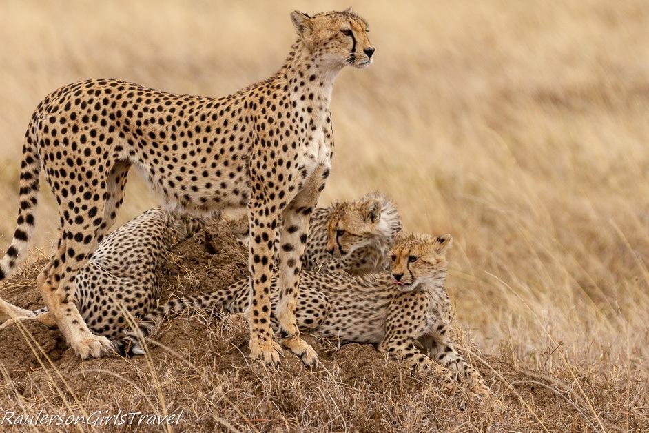 Cheetah prey sighted