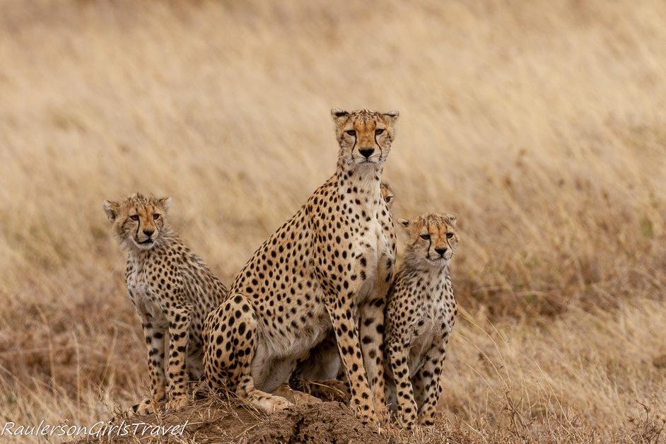Cheetah family looking at the camera