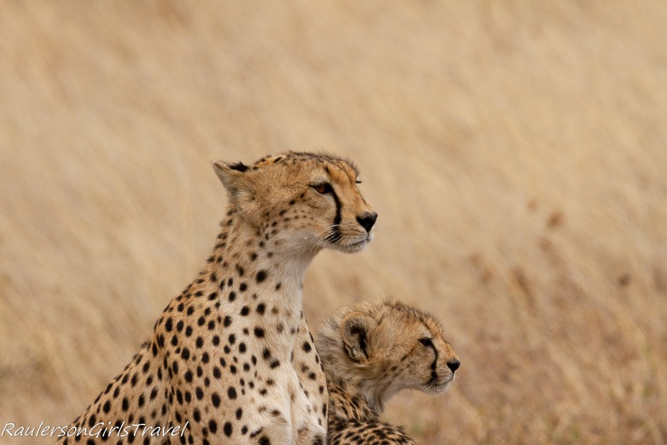 Mom and cheetah cub looking in same direction