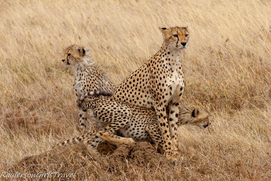 Young Cheetah crawling under mom