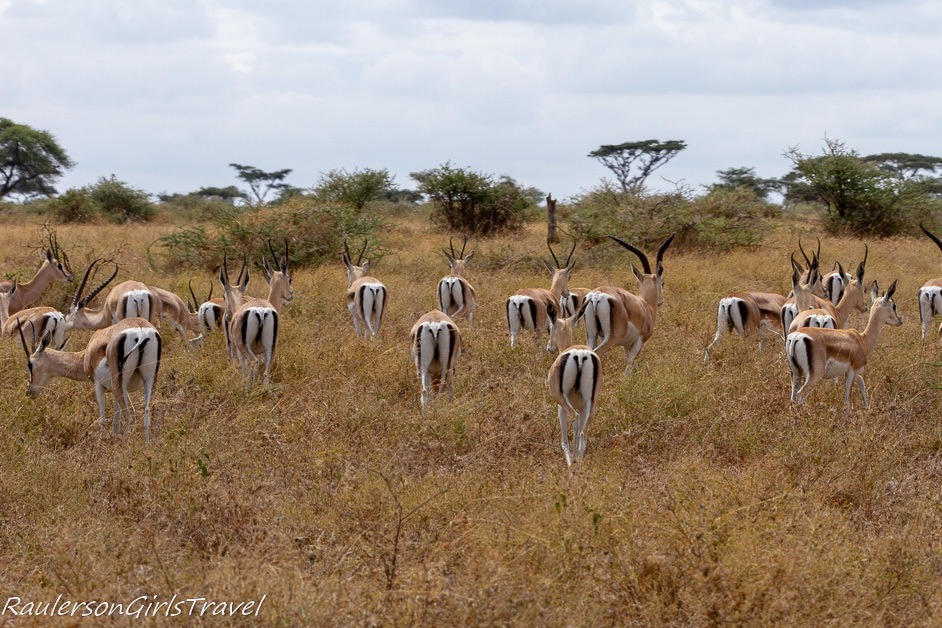 Butt shot of Thomson's Gazelles