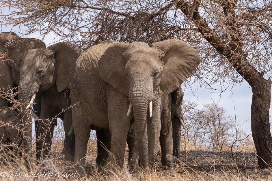 Elephant looking at camera