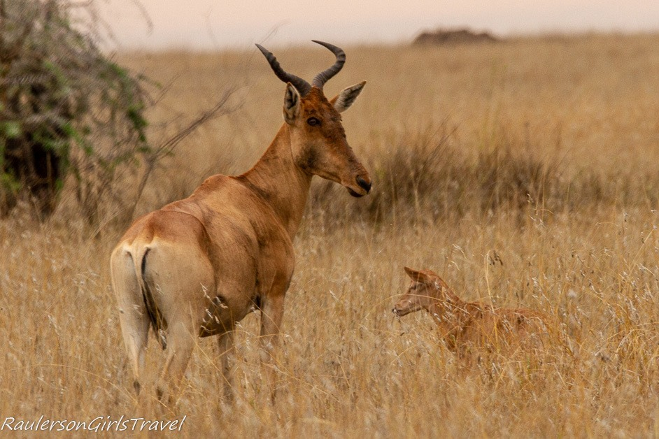 Hartebeest and young