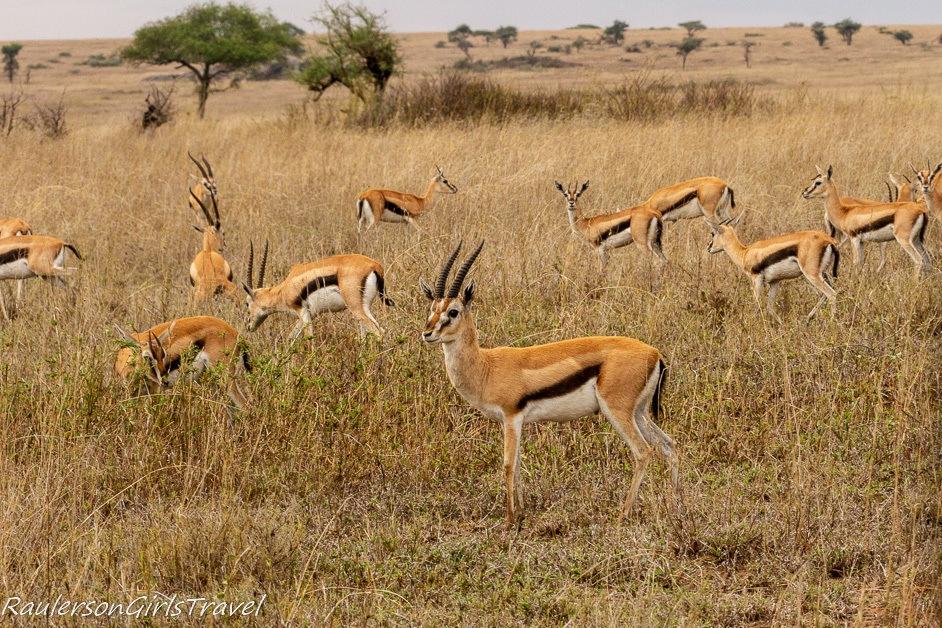 Herd of Thomson's Gazelles