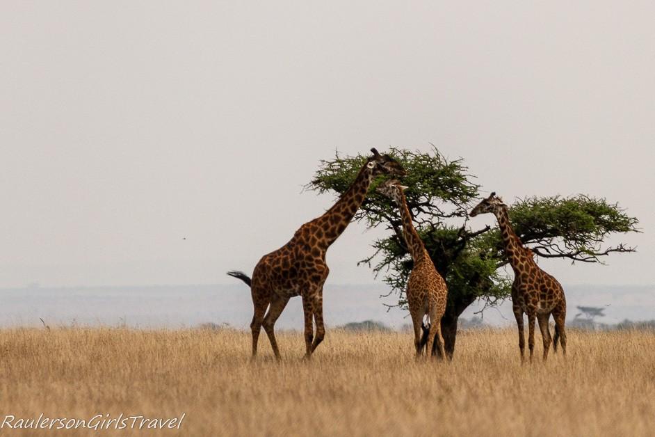Three giraffes eating in the Serengeti
