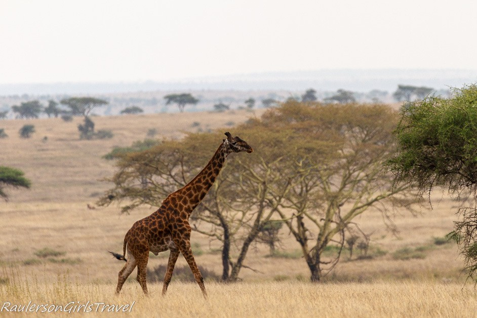 Giraffe walking through Serengeti National Park