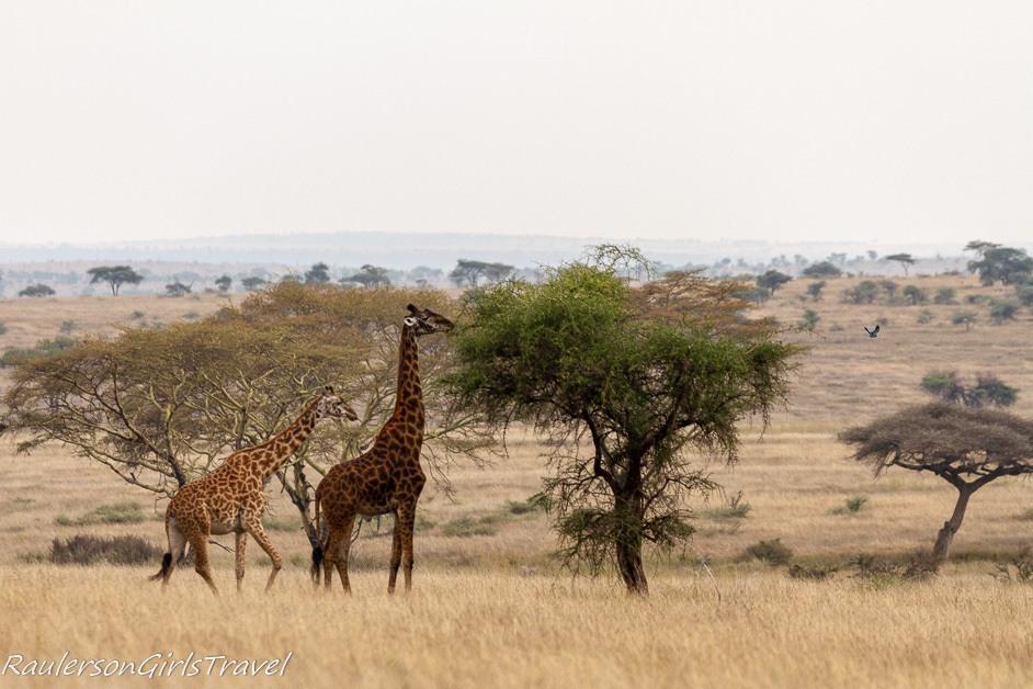 Two giraffes eating