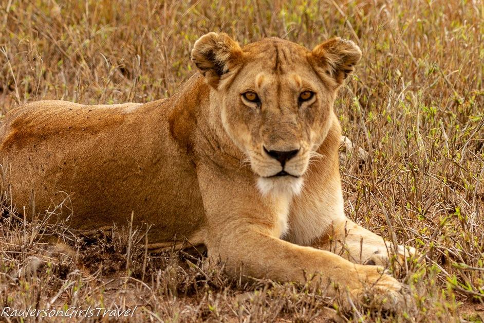 Lioness facing the camera