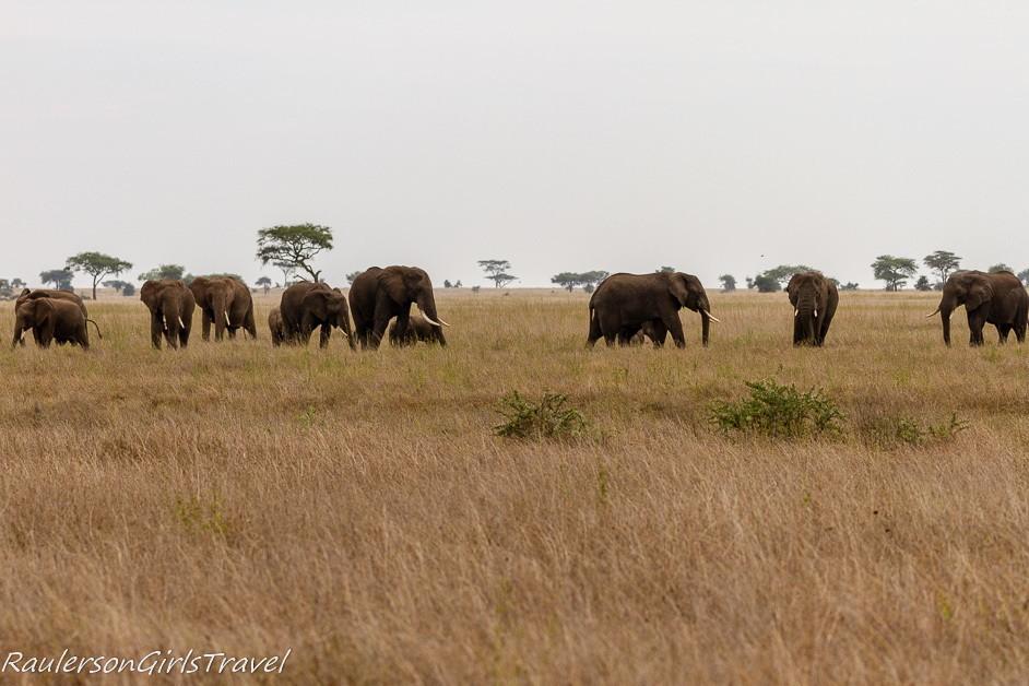 Elephant herd in the Serengeti National Park