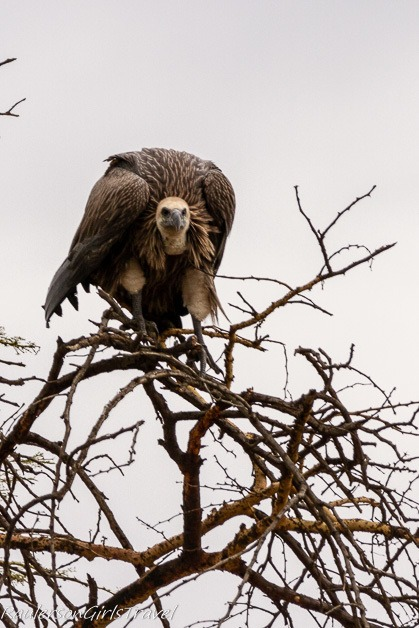 White headed vulture perched atop a tree