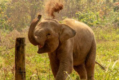 Baby Elephant flinging dirt