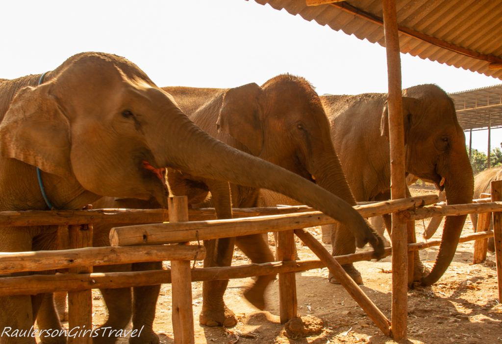 Elephants being hungry