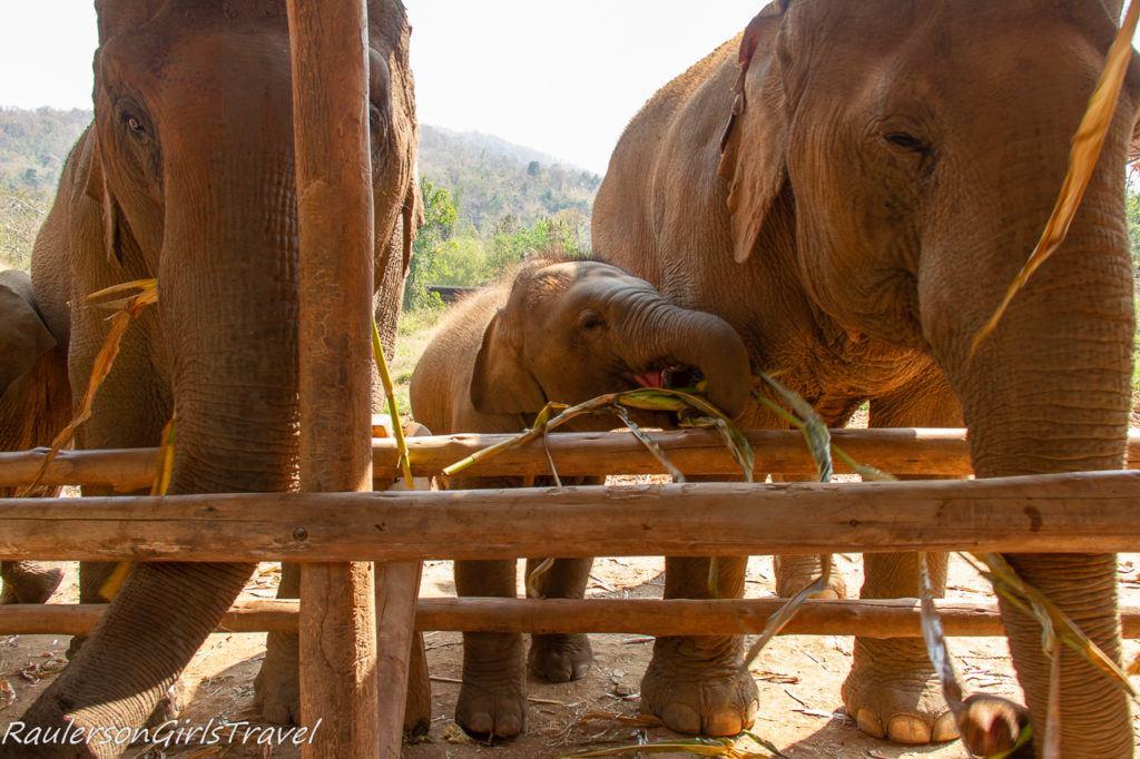 Baby elephant eating