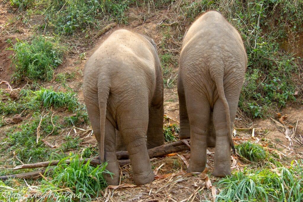 Elephant Butt Shot