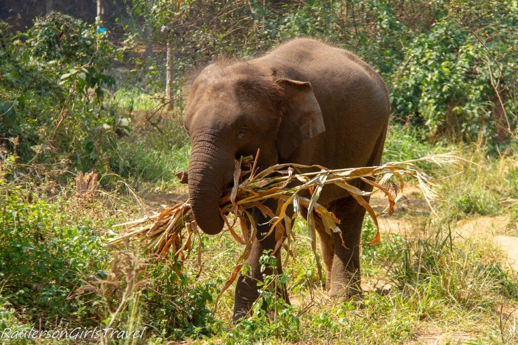 Elephant eating a bunch of stalks