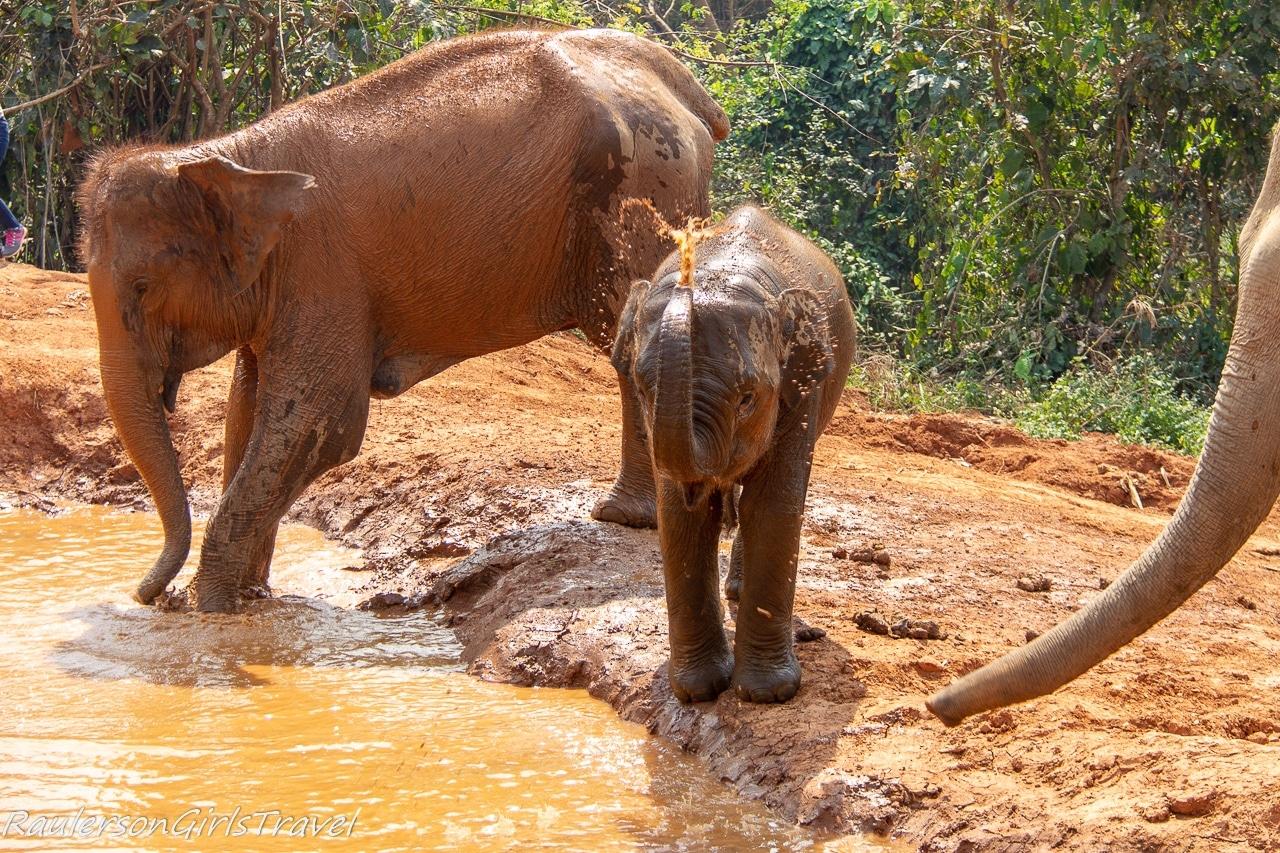 Elephants entering the mud bath