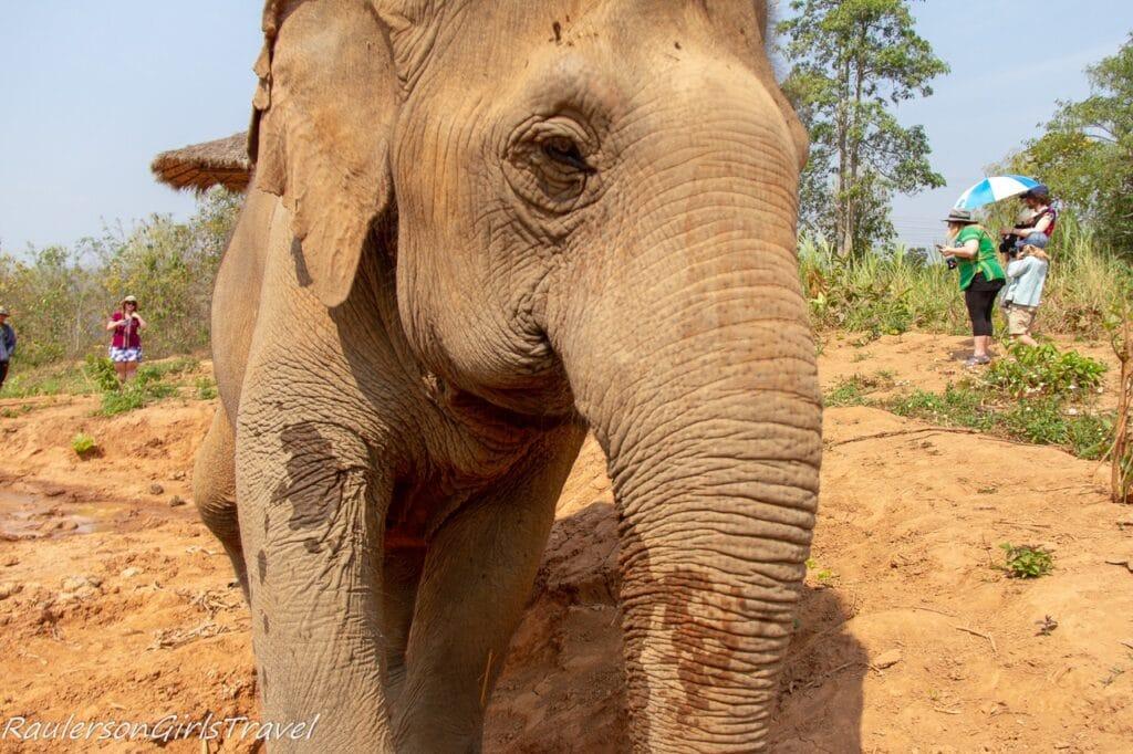 Older elephant walking toward camera