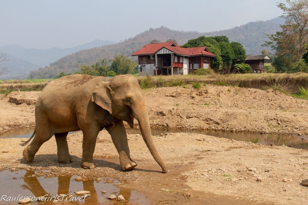 Elephant walking in Thailand