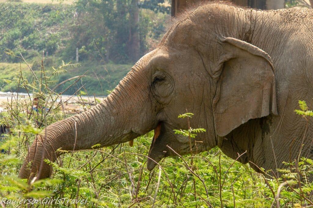 Elephant taking a break for a snack