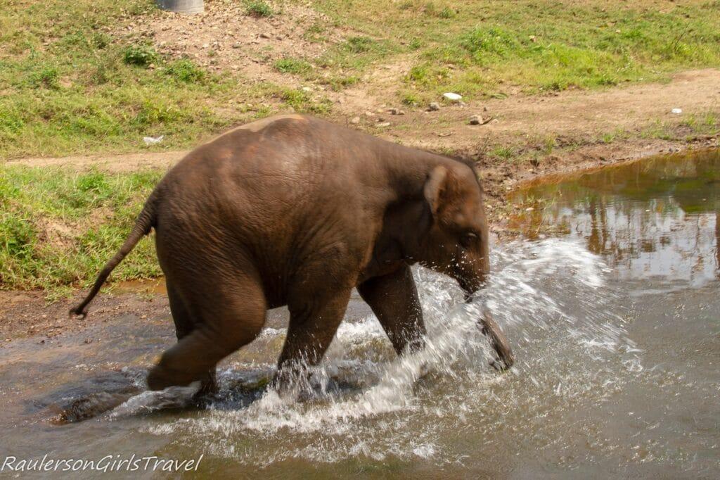 Baby elephant splashing in the river