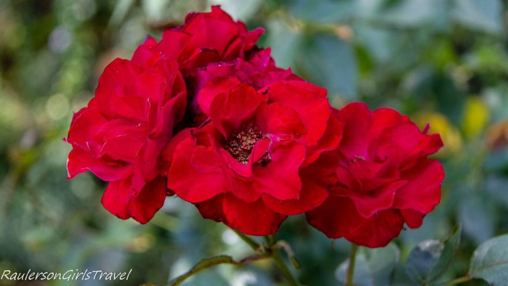 Red Roses at Bhubing Palace