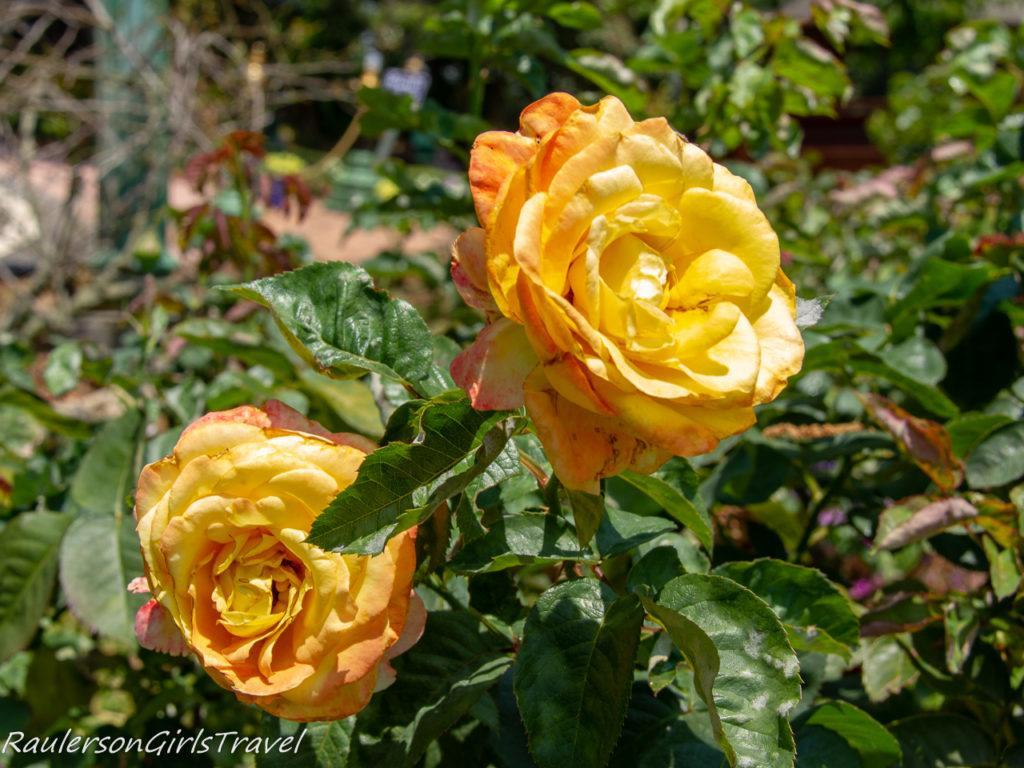 Peach and Orange Roses at Bhubing Palace