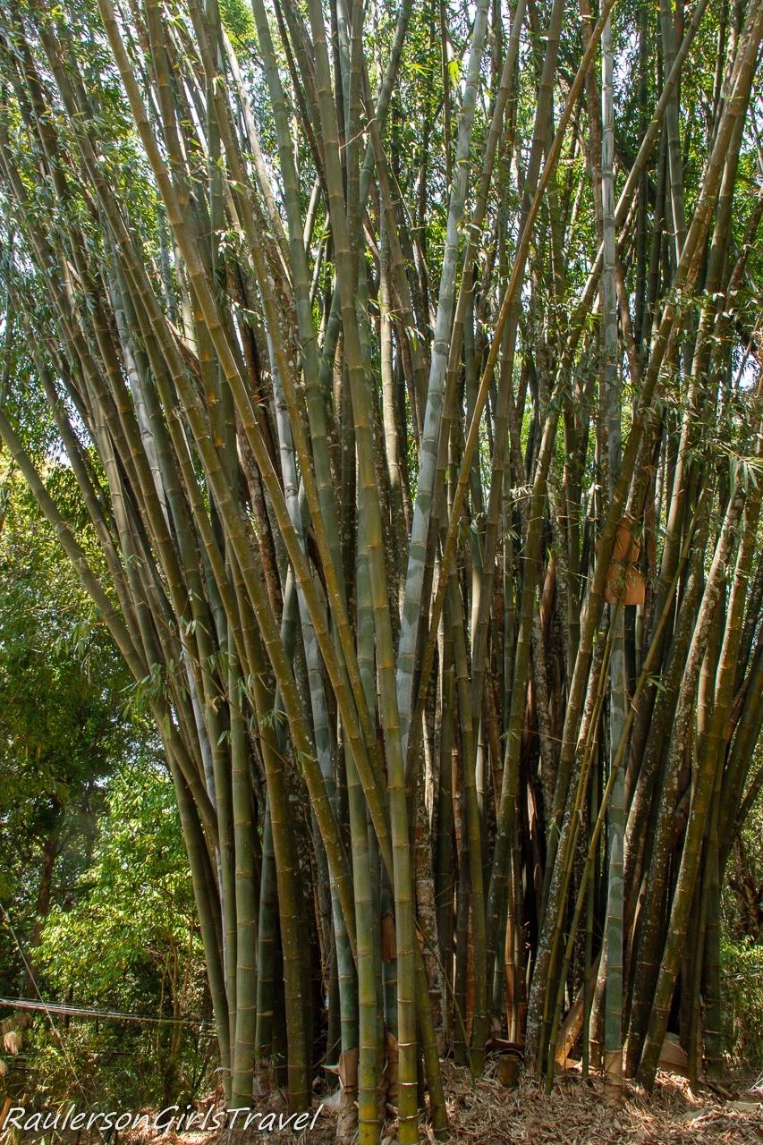 Big Burmese Bamboo